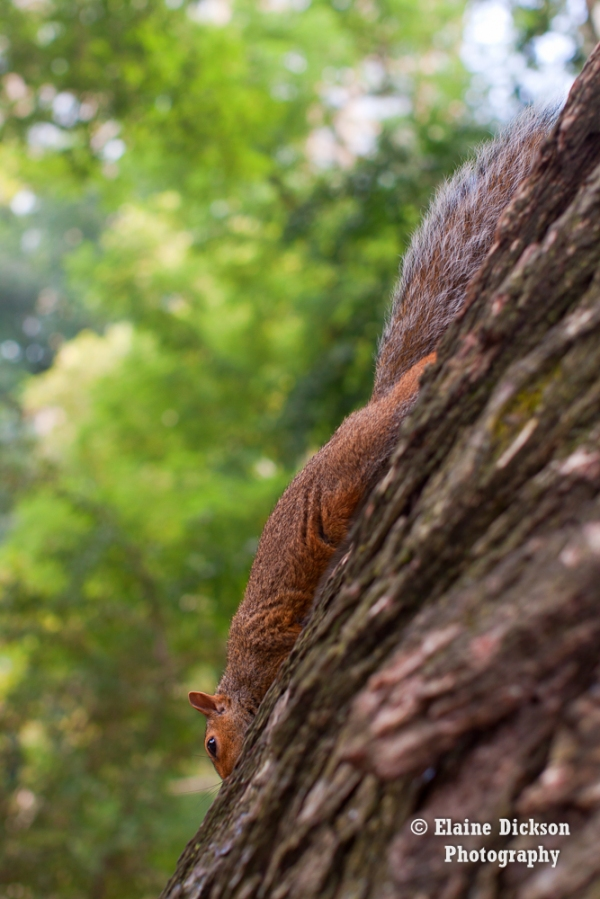 Squirrel in Central Park, NY